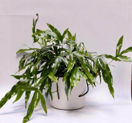 Helecho Microsorum diversifolium | Verdópolis