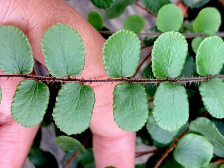 Helecho botón o Pellaea rotundifolia