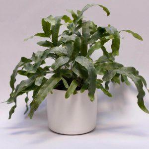 Helecho Phlebodium aureum | Verdópolis