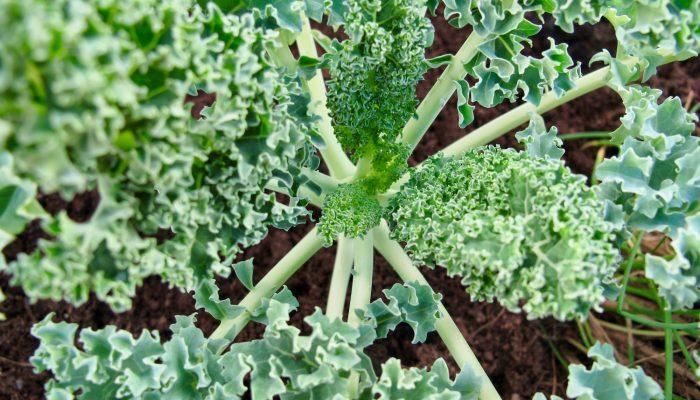 Kale 2016-crecimiento