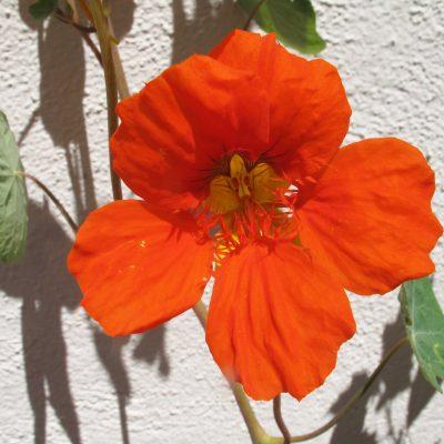 Flor Capuchina