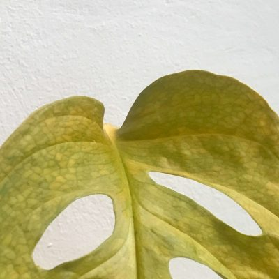 monstera amarilla