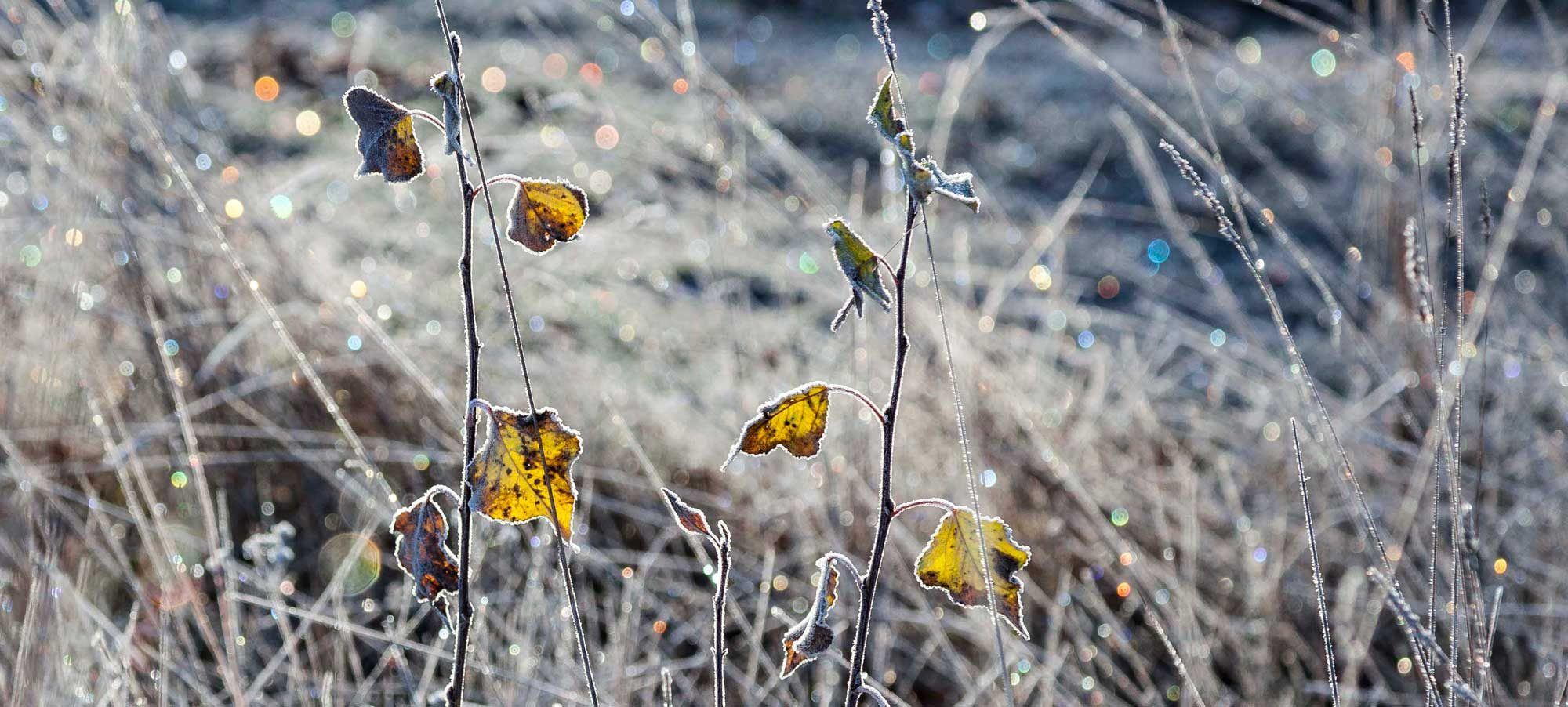 planta-heladaW